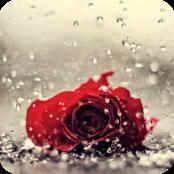 Lonely Rose bestellen!
